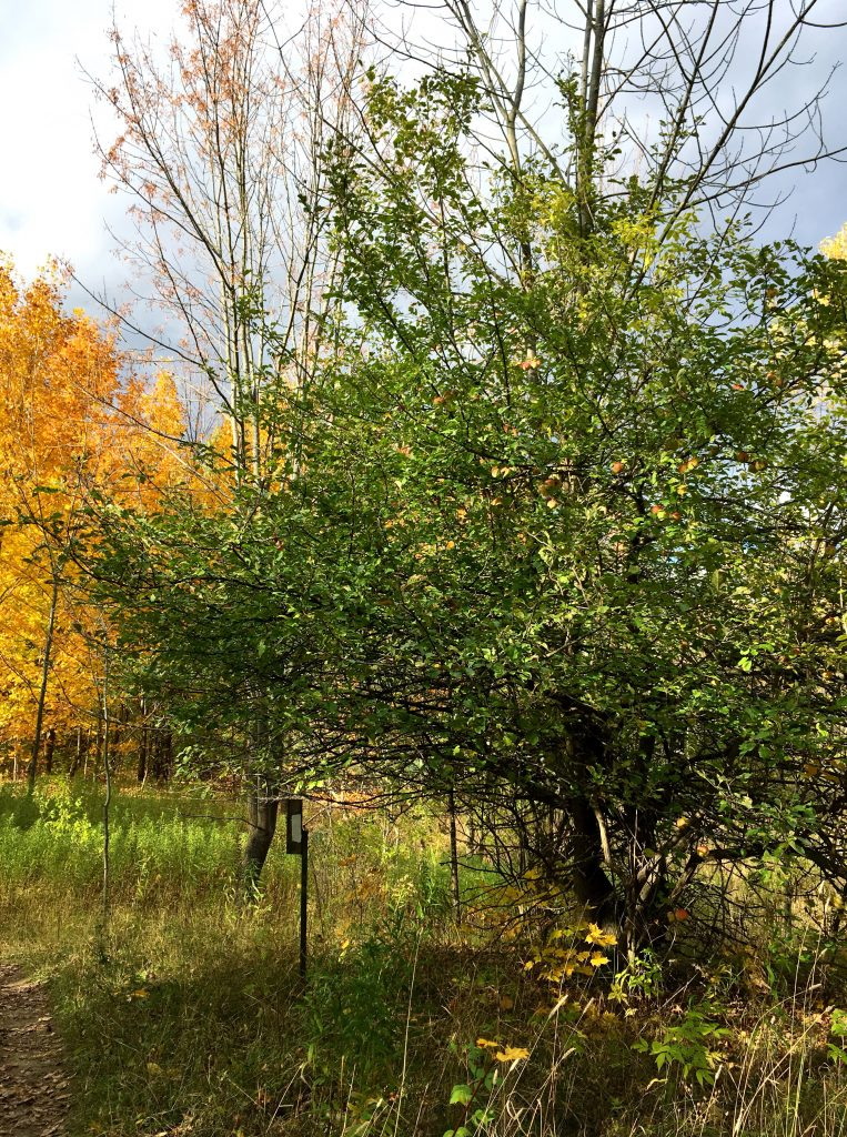 apple tree and trail marker