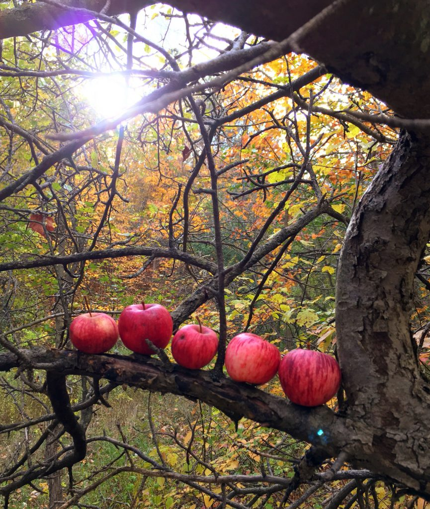 five crab apples arranged horizontally along a branch