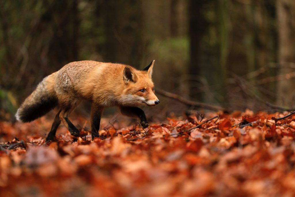 photo of fox walking in forest