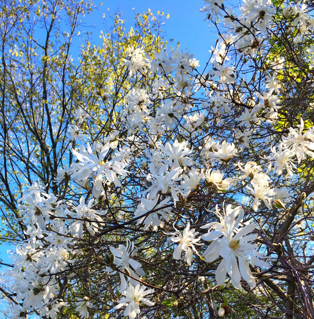 white blossoms on tree with blue sky